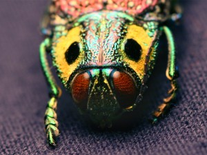 madecassia_rothschildi-jewel-beetle
